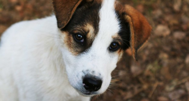 Jack Russell resize
