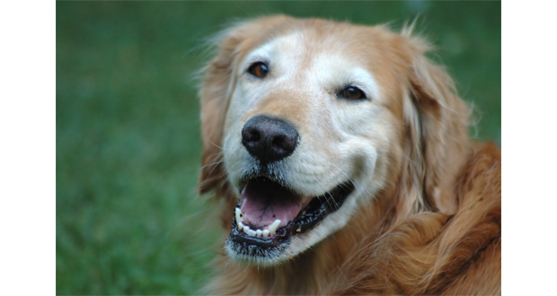 Old Golden Retriever Slider