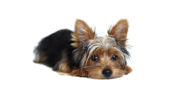 Silky Terrier Slider