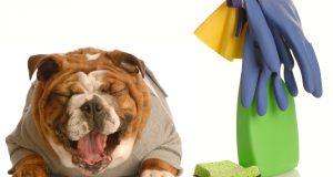 adorable bulldog sitting beside cleaning supplies laughing