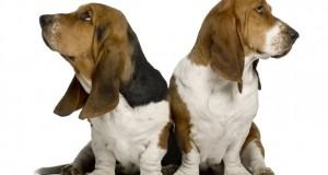 Two sulking Basset Hounds