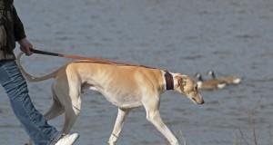Adopt Greyhound