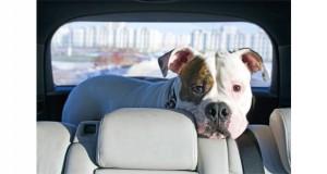 Pit Bull in Car Slider