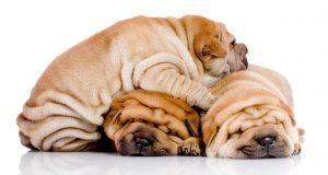 wrinkly-dog